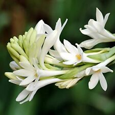 Double Polianthes Tuberose Bulbs Rajanigandha Aromatic Perennial Resistant Plant