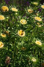 6 graines ASTER DE CHINE VERT(Callistephus Chinensis HULK)X101CHINA ASTER SEEDS