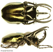 Chalcosoma chiron  (caucasus) - male, nice +80mm, short horns form
