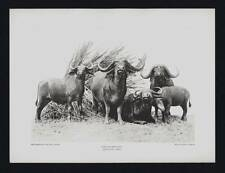 PHOTOGRAVURE CARL E. AKELEY AFRICAN BUFFALO KENYA COLONY TAXIDERMY SCULPTURE