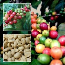 Coffea Arabica 50 Seeds, Coffee Seeds, Arabica For Cultivation, Plant From Thai