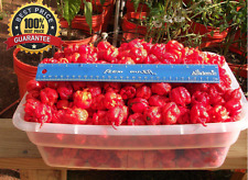 200+Carolina Reaper Seeds HP22B Hottest pepper on Earth!World Record Extreme HOT