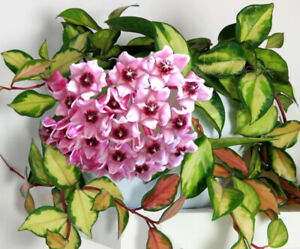 Rare Unique House Plant HOYA carnosa 'Tricolor' WAX plant Variegated, scented