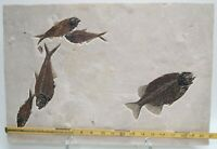 Fossil Fish Superior Natural Plate Phareodus & 4 others Green River Fm Wyoming