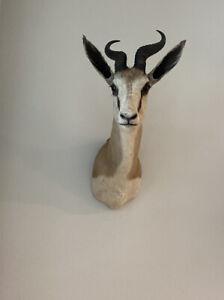 "Nice Springbok Shoulder Mount 10"" Horns Taxidermy African SAFARI Hunting Decor"