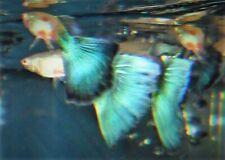 1 TRIO AMERICAN BLUE DELTA GUPPY + 6 FRY/JUVI