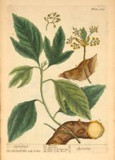 Sassafras Elizabeth Blackwell Vintage Cartel. un curioso Herbal Botánica