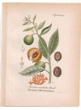 Antique Botanical Print Myristica Moschata Artus-Kirchner-1876