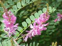 Indigopflanze -Indigofera tinctoria- 1000 Samen
