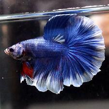 Live Betta Fish Male MONSTER DARK BLUE Rosetail Halfmoon HM