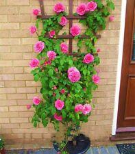 Thailand Climbing Rose Seeds Plant Rose Flower Seeds bonsai Rose Flowers 100pcs