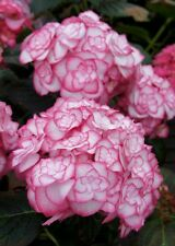 Hydrangea Miss Saori in 9cm pot