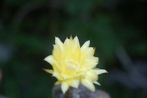 Echinopsis Farbhybride 16/21 gelb