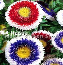 ASTER POMPON - HI NO MARU MIXED - 100 seeds - Callistephus - Annual flower