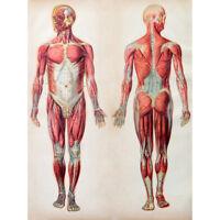Human Body Anatomy Muscles Unframed Wall Art Print Poster Home Decor