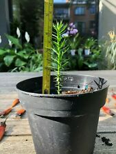 MONKEY PUZZLE TREE (Araucaria araucana) SEEDLING 10-12 cm