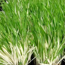 CAT GRASS 5000 seeds  catgrass, dactylis glomerata, cocksfoot  Heirloom