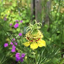 Orientalischer Schwarzkümmel Nigella orientalis Heilpflanze Gewürz Zierpflanze