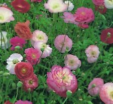 Flower - Papaver - Poppy - Shirley Double Mix  - 8000 Seeds