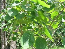 Populus grandidentata BIGTOOTH ASPEN TREE Seeds!