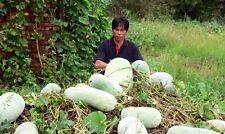 WAX GOURD Winter Melon White Ash Benincasa Hispida Vegetable Seeds
