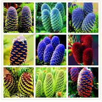 100 PCS Seeds Korean Fir Abies Nordmann Christmas Tree Conifer Plants Bonsai New