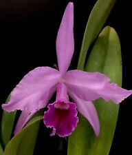 Orchid Live Cattleya gaskelliana x Laelia Lobata - bare root