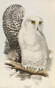 Edward Lear Snowy Owl Giclee Art Paper Print Paintings Poster Reproduction