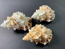 "3 Frog Shell Bursa Bubo 2.5"" Seashells Crafts Beach Decor Us Seller Free Ship!"