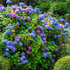 100X Mixed Color Hydrangea Macrophylla Flower Seeds Potted Bonsai Garden Decor C