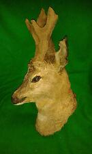 ROE BUCK in VELVET Deer Trophy Hunting Taxidermy