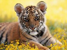 Cute Tiger Cub Photo Picture Print 19x13 inch Fine Art Print Ready to Frame NEW