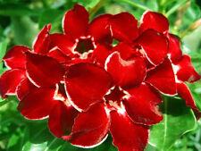 """Adenium Obesum """"Dragon Siam"""" Fresh&Viable 100 Seeds"""