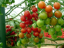 Tomato Large Red Cherry 50 Fresh Seeds Super Sweet and Juicy Free Ship!