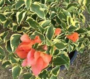 Well Rooted **ORANGE ICE** VARIEGATED Bougainvillea starter/plug plant*