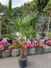 Bäume für volles Sonnenlicht-Hanfpalme