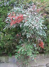 50 Seeds of Nandina domestica, Nandina, Heavenly Bamboo, Sacred Bamboo