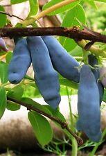 2 Maibeere Pflanzen, Gimolost, 2 Neue Lizenzsorten Sparset,Sibirische Blaubeere