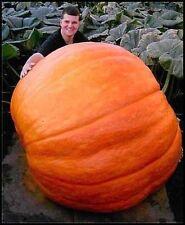 US Atlantic Giant Pumpkin seeds x 5 fresh garden show grow huge pumpkins