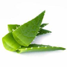 Aloe Vera plante médicinale plantes vivantes ou 12-15 cm Tall Barbadensis Miller