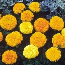 Marigold African - Sunspot Mixed - 100 Seeds