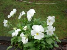 50 WHITE PANSY Clear Crystals Violet Viola Wittrockiana Flower Seeds *Comb S/H