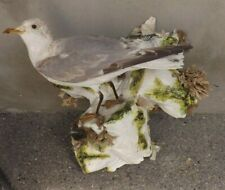 TAXIDERMY SEA BIRD FROM A CASED COLLECTION PRIZE WINNER ASHMEAD & CO 1862