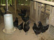 10+ Ayam Cemani Hatching Eggs