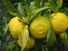 """Citrus junos """"yuzu"""" (50 graines/seeds!)"""