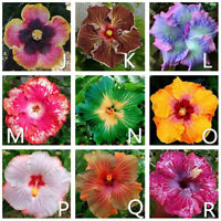 GARTEN-Riesig Hibiskus Exotische Koralle Blumen 100 Samen MIX-Rare