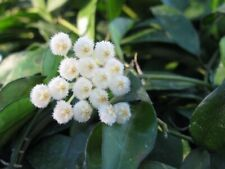 """Rare Hoya Lacunosa """"ruby Sue"""" White Fragrant Flower Wax Plant 2 rooted Starters"""