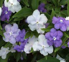 FRAGRANT DELIGHT Brunfelsia scented lavender-blue mauve white plant in 140mm pot