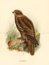 DRAWING BIRD ROWLEY KEULEMANS YOUNG GYRFALCON ART PRINT POSTER LAH359A