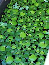 10+ Amazon Frogbit (Live aquarium/Aquatic/Pond/Flo ating plant)